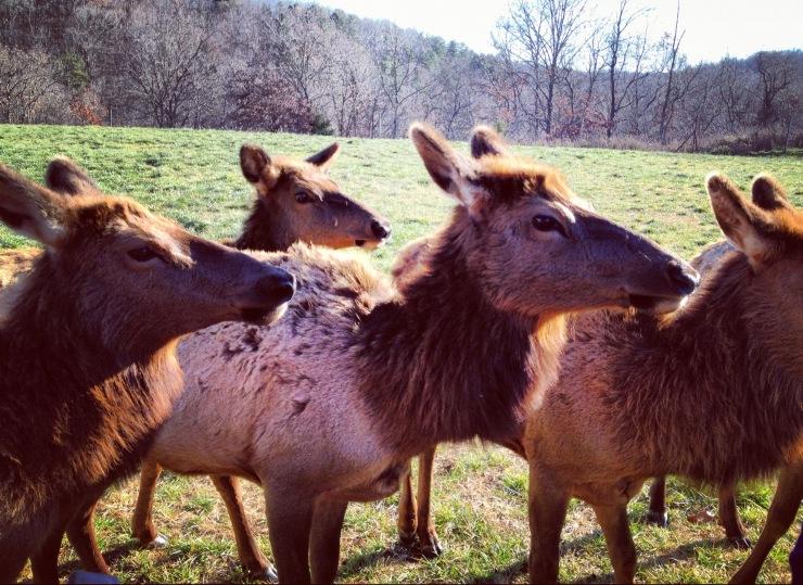 Dogwood Canyon: Elk