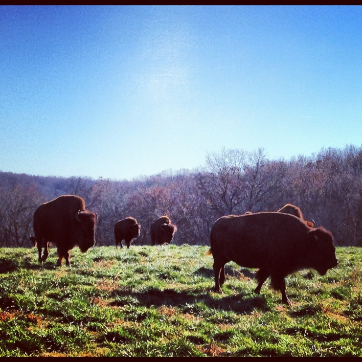 Dogwood Canyon: Bison